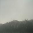 朝霧の白鳥