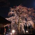 シダレ桜夜景