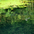 忍野の魚達